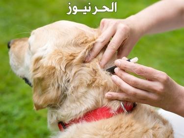 هل قراد الكلاب معدي للانسان