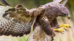 تفسير حلم رؤية الصقر والطيور الجارحة في المنام