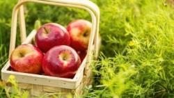 تفسير حلم أكل التفاح في المنام