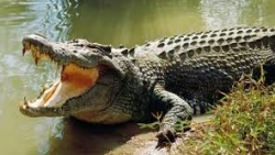 تفسير حلم التمساح في البيت في المنام