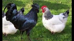 تفسير حلم عض الدجاج في المنام