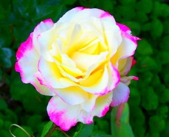 تفسيرات مختلفة حول حلم الورد في المنام