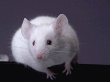 تفسير حلم قتل الفأر في المنام
