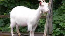 تفسير الماعز الأبيض في المنام