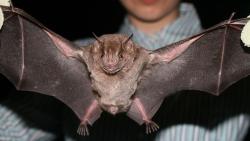 تفسير حلم الوطواط الأسود في المنام