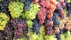 تفسير حلم قطف العنب الأخضر في المنام