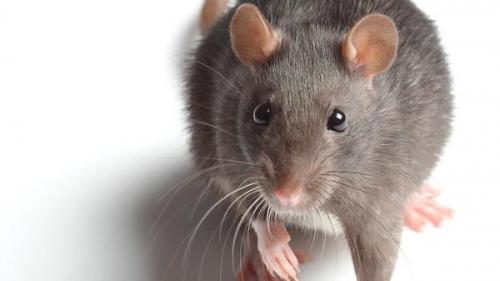 تفسير حلم الفأر الأبيض في المنام