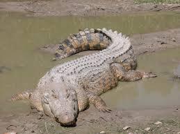 تفسير حلم هجوم التمساح في المنام