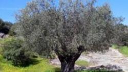 تفسير حلم شجرة الزيتون في المنام