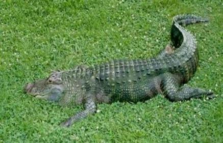 تفسير حلم الهروب من التمساح في المنام