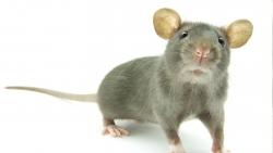 تفسير حلم مهاجمة الفأر في المنام