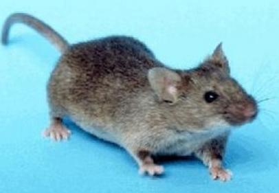 تفسير حلم الفئران الصغيرة في المنام