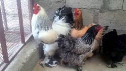 تفسير حلم الدجاج النيئ في المنام