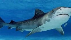 تفسير سمك القرش يهاجمني في المنام