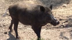 تفسير حلم الخنزير يجري ورائي في المنام