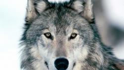 تفسير رؤية قتل الذئب في المنام