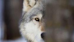 تفسير حلم الذئب يهاجم في المنام