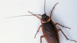 تفسير حلم الصراصير الكبيرة في المنام
