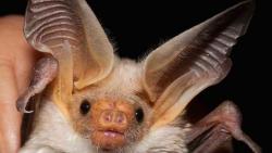 تفسير رؤية الخفاش في المنام العصيمي