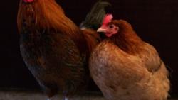 تفسير رؤية الدجاج في المنام للحامل