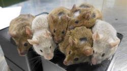 تفسير حلم الفئران للعزباء في المنام