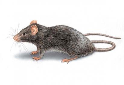 تفسير رؤية الفأر الأبيض في المنام للعزباء