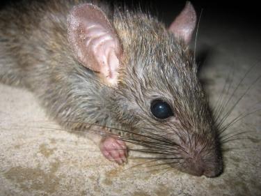 تفسير حلم الفئران للمتزوجه في المنام