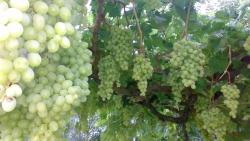تفسير حلم أكل العنب من الميت في المنام