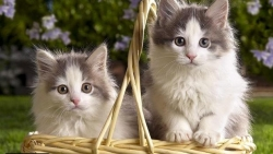 تفسير سماع مواء القطط في المنام