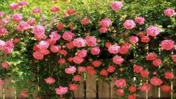 انواع الورد الطبيعي واسمائها