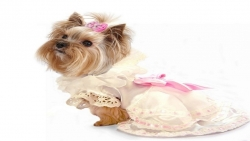 مميزات الكلب المالطي