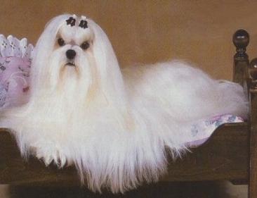 صفات كلاب البوميرينيان
