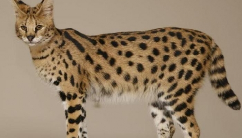 ما هو اكبر انواع القطط في العالم
