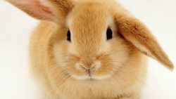تفسير حلم ولادة الأرانب في المنام