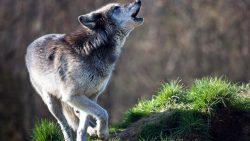 تفسير حلم الذئب في المنام