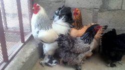 تفسير حلم الدجاج لابن سيرين